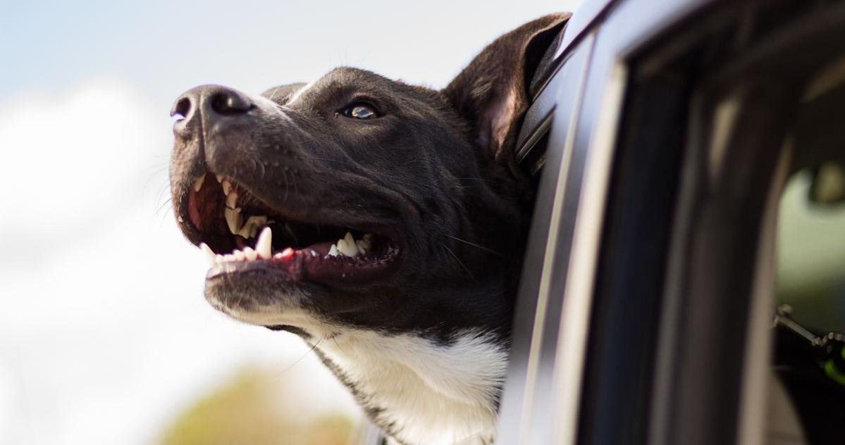 Perros que persiguen carros en República Dominicana